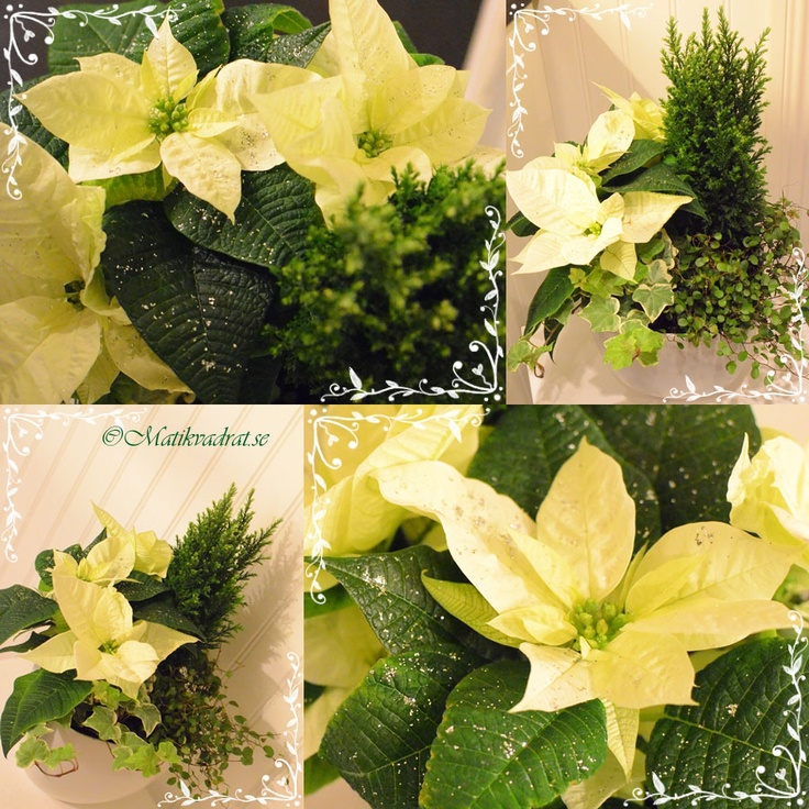 A mix of white and green plants for Christmas. Some glitter adds sparkle :-)