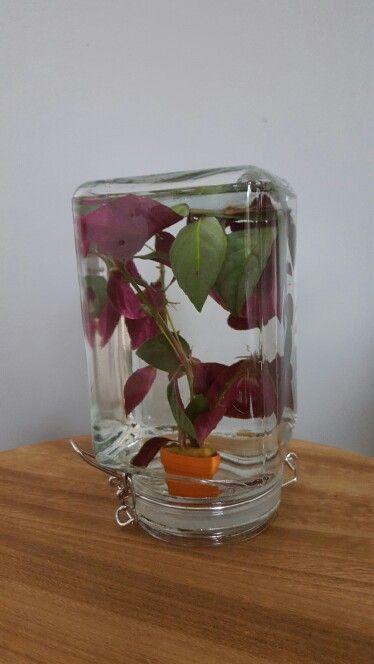Afbeeldingsresultaat voor waterplant weckpot