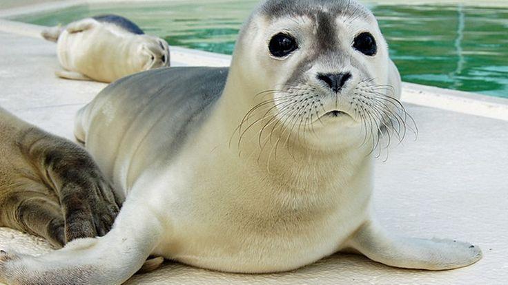 Heuler in der Seehundstation Norddeich. © NDR