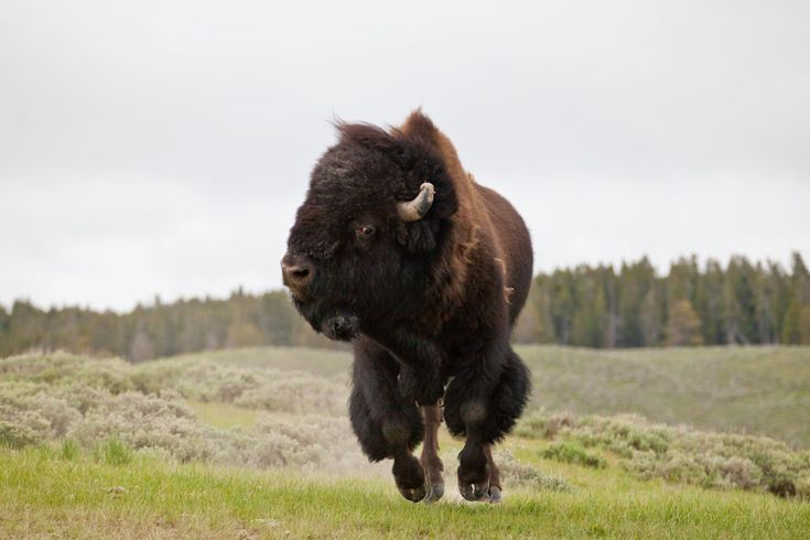 Bison Charging 1000+ images about bis...