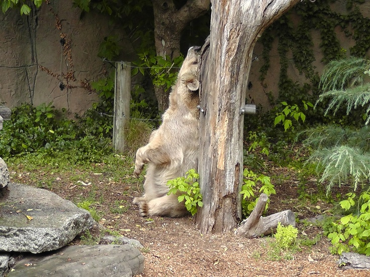 Honey the bear at the Melbourne Zoo