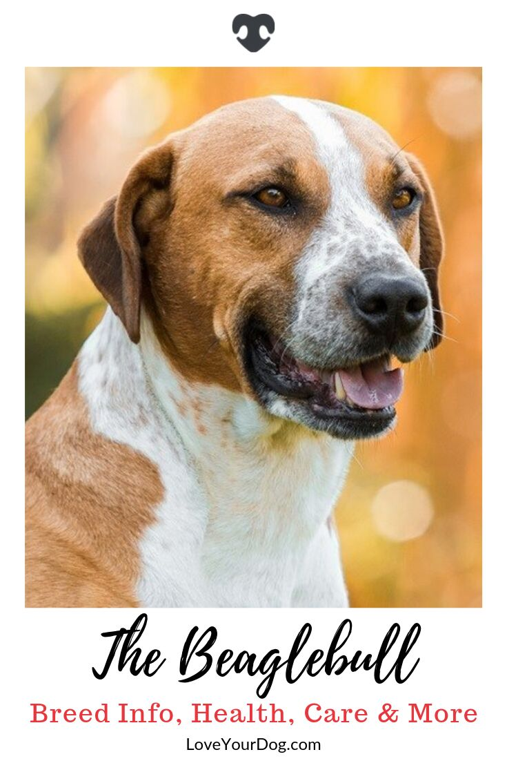 Beagle Pitbull Mix Beaglebull Breed Info Temperament Puppy