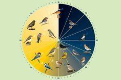 Besonders in Frühjahr und Sommer können Frühaufsteher am Morgen ein wahres Vogestimmenkonzert erleben. Doch nicht jeder Vogel stimmt zur gleichen Zeit ein. An der Vogeluhr können Sie ablesen, wie viele Minuten vor Sonnenaufgang die Vögel mit ihrem Gesang beginnen.