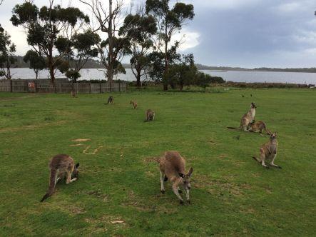 Kangoeroes, East Coast Natureworld, Tasmanië, Australië #tasmania #tassie #australia #roadtrip #kangaroo