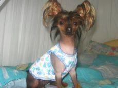 Тема - Выкройки одежды для собак :: Самые маленькие собаки. Фото. Все породы маленьких собак. Декоративные маленькие собачки. Фотографии пород и щенков Йоркширский терьер Чихуахуа Русский той терьер Мальтийская болонка Ши-тцу Ветеринария Воспитание Уход Груминг Хендлинг Выкройки и схемы вязания одежды для собак.