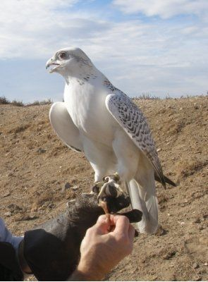 Animals For > White Falcon Bird | FALCON BIRD | Pinterest ...