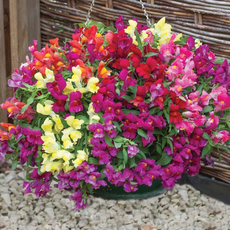 Trailing Snapdragon Seeds Candy Showers Mix Annual