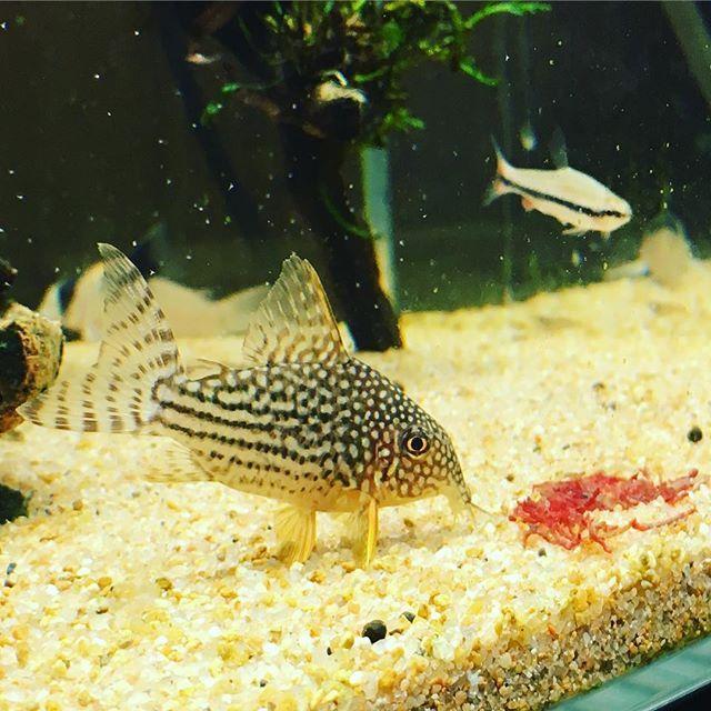 【mukkifish】さんのInstagramをピンしています。 《たまにはステルバイ😆お食事風景です☺️ #corydoras #corycatfish #コリドラス #fish #fishtank #plantedtank #plantedaquarium #aqua #aquarium #aquarius #アクアリウム #熱帯魚》
