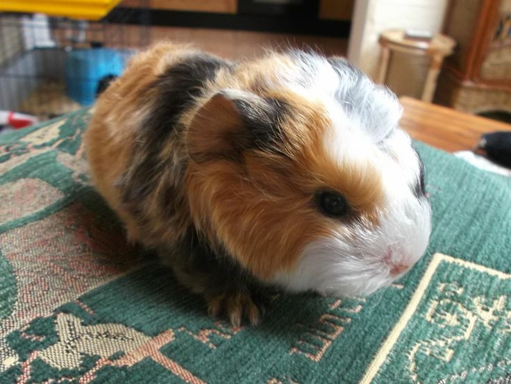 guinea pigs as pets | baby guinea pigs for sale southampton hampshire £ 12 posted 7 months ...