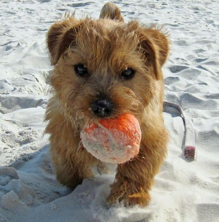 Henry the Norfolk Terrier. I think my terrier mix needs a little buddy....