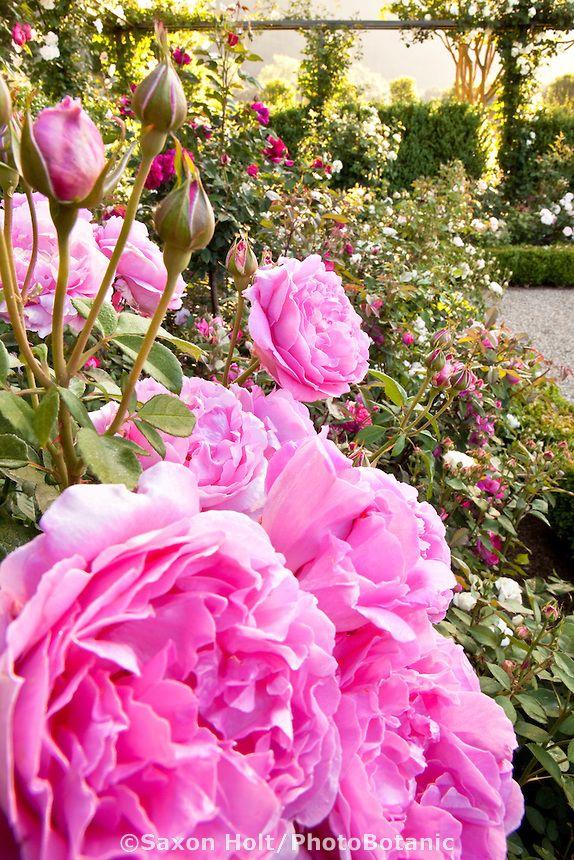 Pink flowering David Austin (English) rose in a California rose garden.