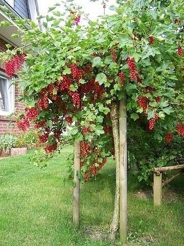 Смородина на штамбе  Предлагаем новый способ выращивания кустов смородины, крыжовника и других. Урожайность повышается за счет лучшей освещенности такого типа куста т.е. в один ствол, получается столб из сплошных ягод, просто красотища!  На фото несколько иначе сделано - в виде деревца, что тоже интересно, но я хочу попробовать в виде столбика, что бы ягоды висели снизу до высоты 1.5 м- 2 м. Обязательно сделаю. Кстати, можно гнать не одним стеблем , а переплести в виде косы несколько…