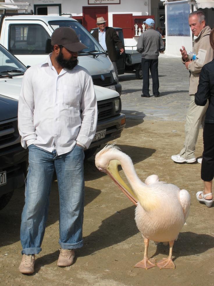 Giant pink pelican in Mykonos