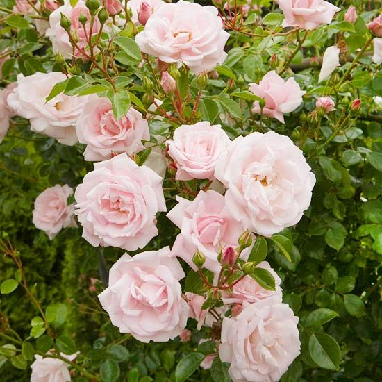 How to prune the rose bushes