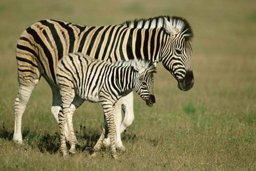 Plains zebras are found in large groups called herds