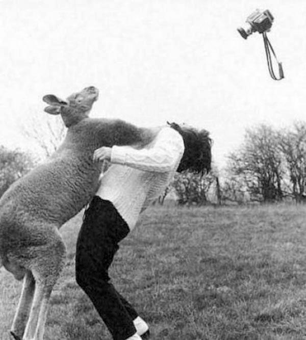 。。。why you DON'T stand up close to a big alpha male kangaroo......they are very powerful and can seriously injure you.....