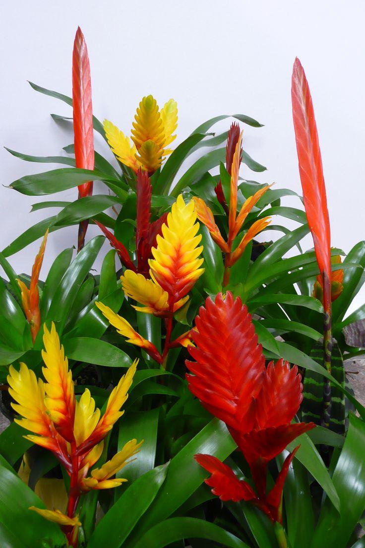 Bromeliad vriesea houseplants pinterest perennials