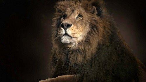 Best 25 Lion Hd Wallpaper Ideas On Pinterest: 11 Best Ideas About Lions And Lionesses On Pinterest