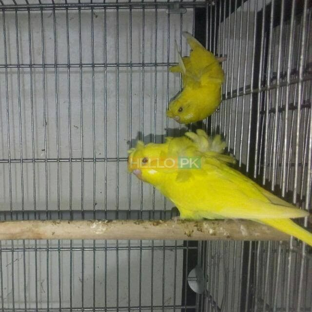 Df Lutino Hogoromo 4pair For Sale Pic Only For Reference Location Karachi Pics Sale Budgies