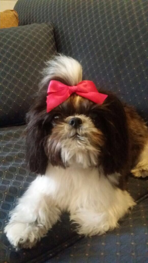 shih tzu topknot 17 best images about dogs puppies and pups on pinterest 3889