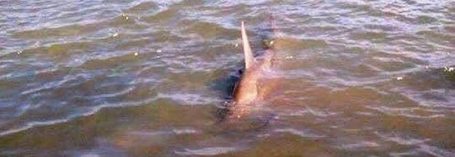 MARANO LAGUNARE Uno squalo martello lungo tre metri è stato rinvenutonella laguna di Marano Lagunare (Udine) da due pescatori. Lo squalo è