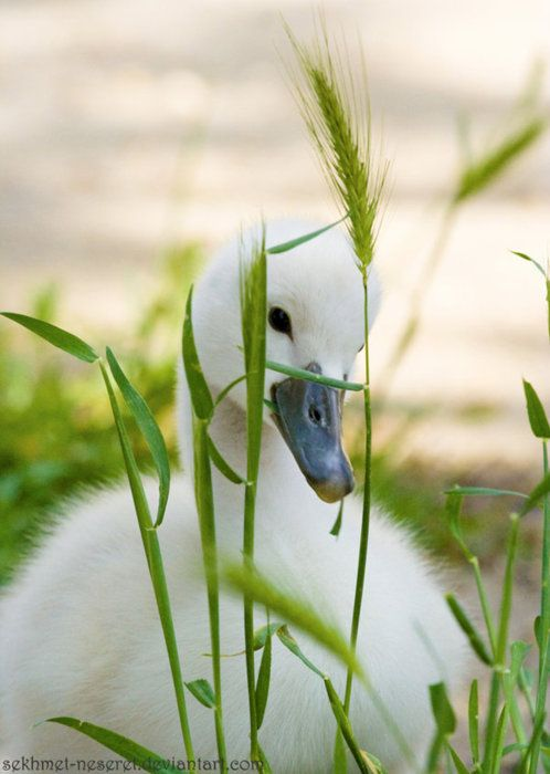 Such a sweet picture. Baby swan....  World Wildlife Fund ...Protects exotic animals world wide ...please join their org today :)