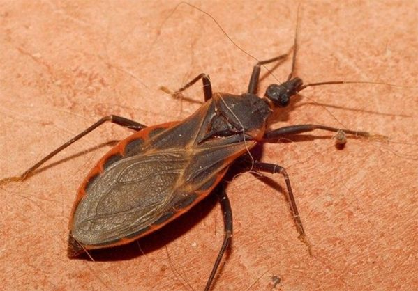 These bugs are called the kissing bugs, and they are becoming infamous for their potential kiss of death. Watch out, they could be nesting near you! | From best-facts