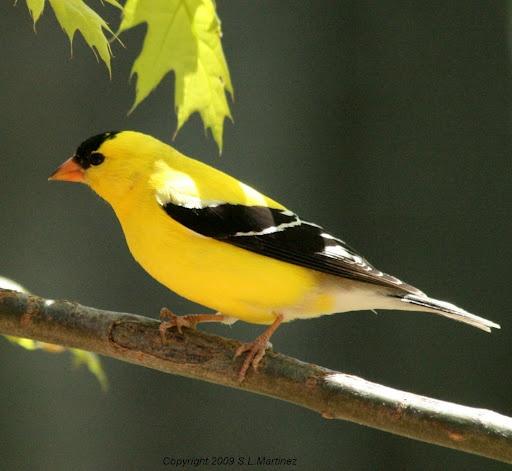 206 Best Finch Birds Images On Pinterest