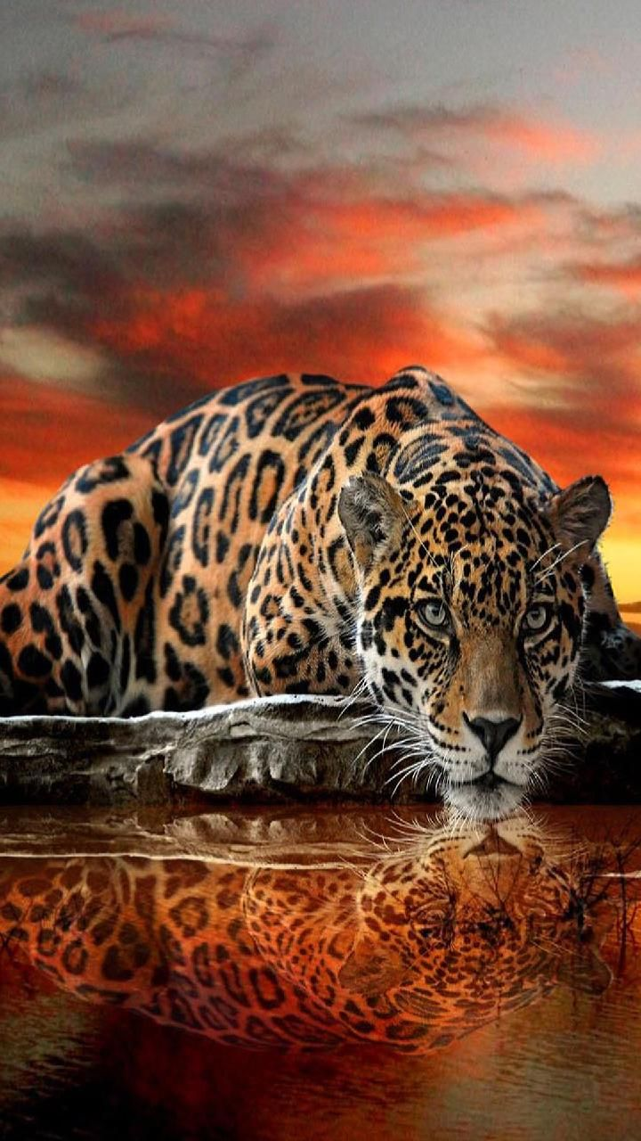 Download Thirsty Leopard Wallpaper By Georgekev 7d Free On Zedge Now Browse Millions Of