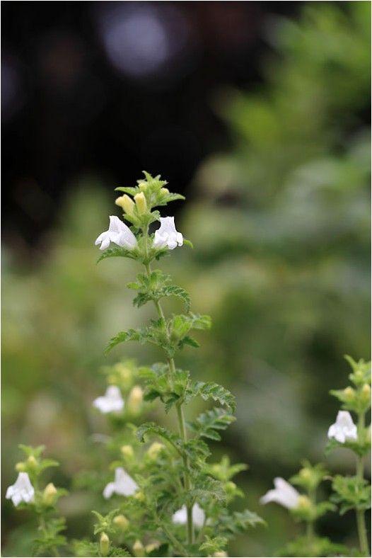 コシオガマ(小塩竈)山野の日当たりのよい草原や林縁に生えるゴマノハグサ科の一年草です。他の植物の根に寄生する半寄生植物ですが、特定な植物はありません。葉は...