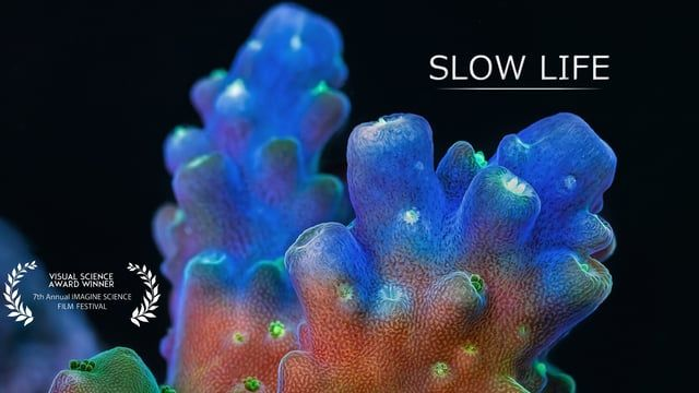 """""""Slow"""" marine animals show their secret life under high magnification.  Corals and sponges build coral reefs and play crucial roles in the biosphere, yet we know almost nothing about their daily lives. These animals are actually very mobile creatures. However their motion is only detectable at different time scales compared to ours and requires time lapses to be seen.  www.bioqueststudios.com.au  Make sure you watch the video on a large screen. This clip is displayed in Full HD, yet the ..."""