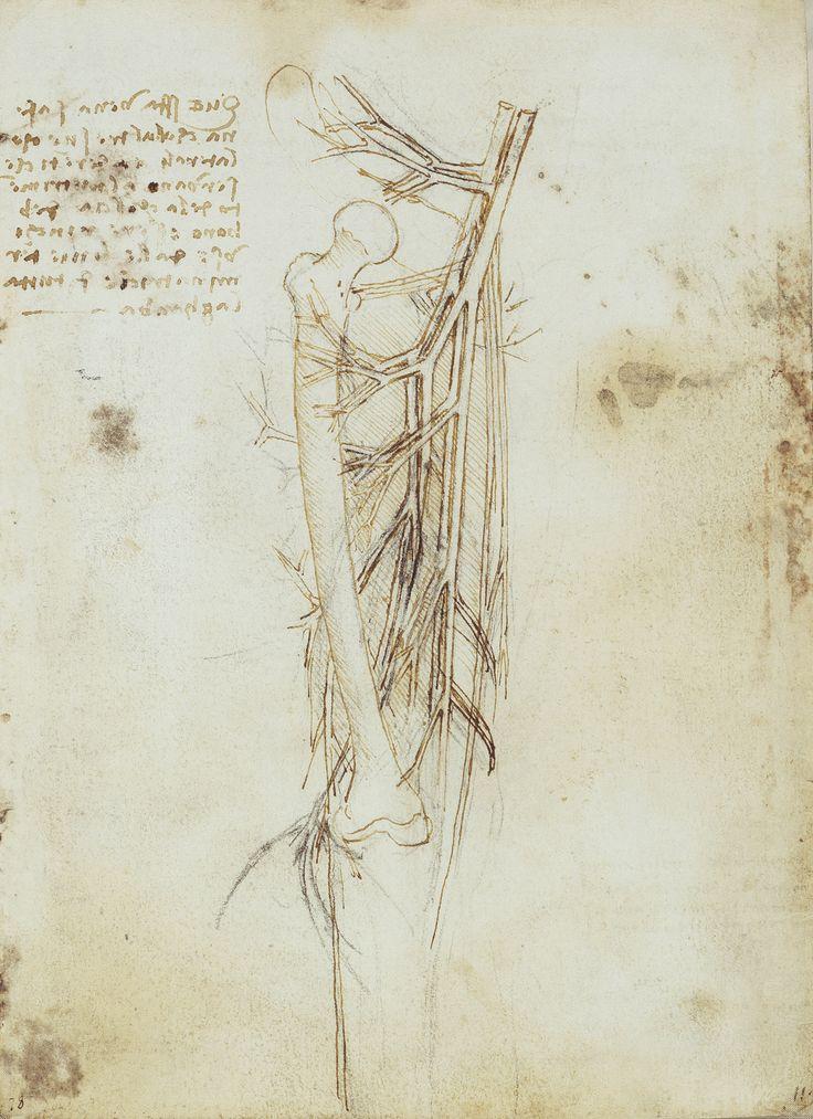 The vessels of the upper leg. Leonardo da Vinci (Vinci 1452-Amboise 1519)    #TuscanyAgriturismoGiratola