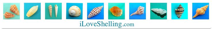 Seashell Identification | Shell ID | Identify Sanibel Shell | i Love Shelling