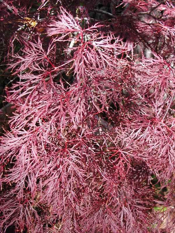17 Best Images About Acer Palmatum On Pinterest Scarlet