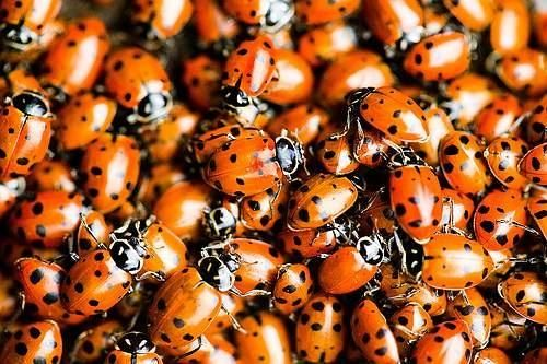 How To Start a Ladybug Garden!  The benefits of having ladybugs in your garden include being able to cut back on pesticides and ridding your flower beds of aphids and other insect pests.