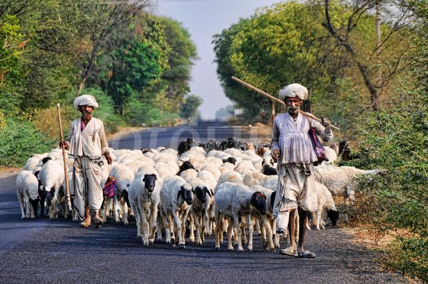 Rabari shepherds with flock of sheep. (Shepherds from the Rabari tribe leading their flock of sheep along a road in Kutch, Gujarat, India)