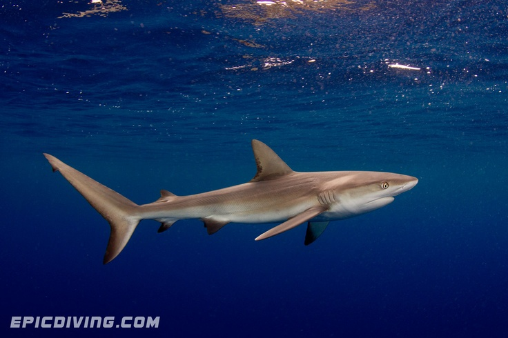 Dusky Shark- difference from silky shark is that their two fins on bottom are closer together. not known to attack unprovoked.