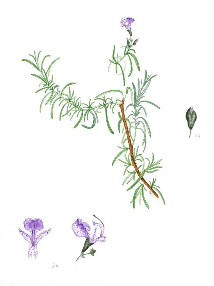 Romero - Rosemay / Rosmarinus officinalis, 2014 Geraldine MacKinnon