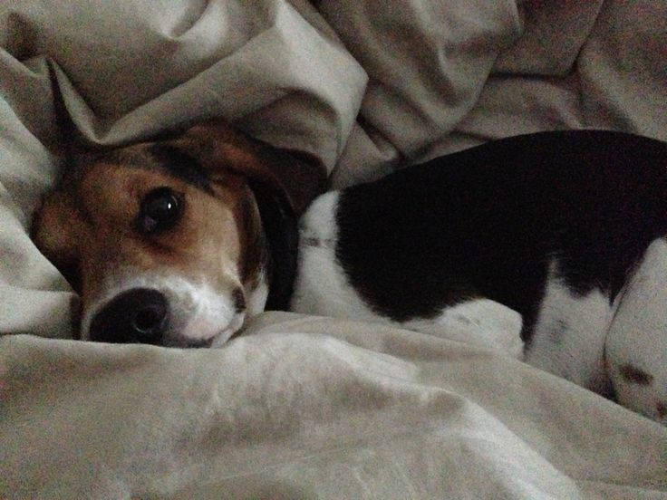 Sleepy mini beagle