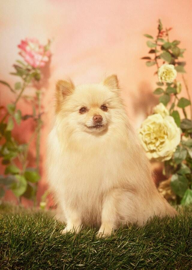 Shot by Petra Collins, a lineup of dogs to celebrate the Year of the Dog.Hounds and Pooches Petra Collins, Baby Animals, Funny Animals, Cute Animals, Pretty Animals, Gucci, Dog Years, Pomeranian Puppy, Dog Photography