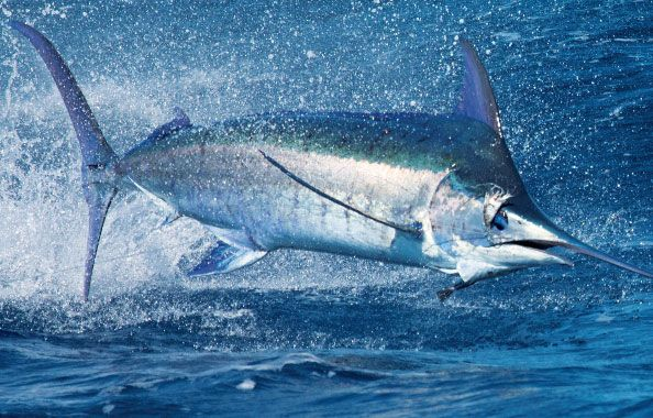 Blue marlin iridescent nature pinterest