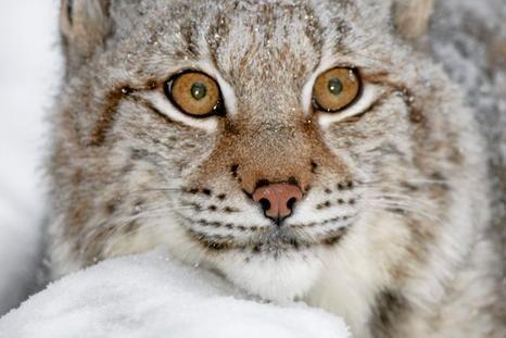 Ilves on Suomen runsaslukuisin suurpeto. Lynx, Finland.