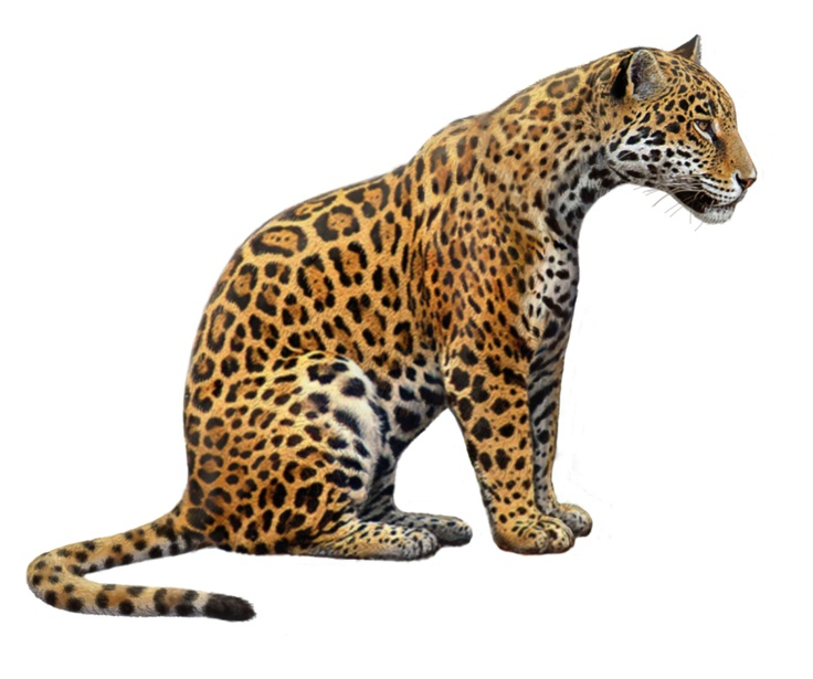 jaguar drawing - photo #3