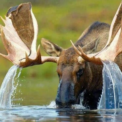 I love how the water is running off his antlers...perfect shot.