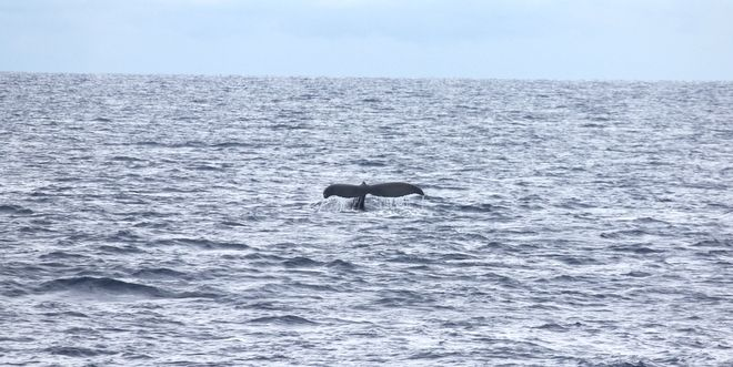Premier Whale Watching by Star of Honolulu スターオブホノルルの「プレミア・ホエールウォッチング」 | プーコのハワイサイト