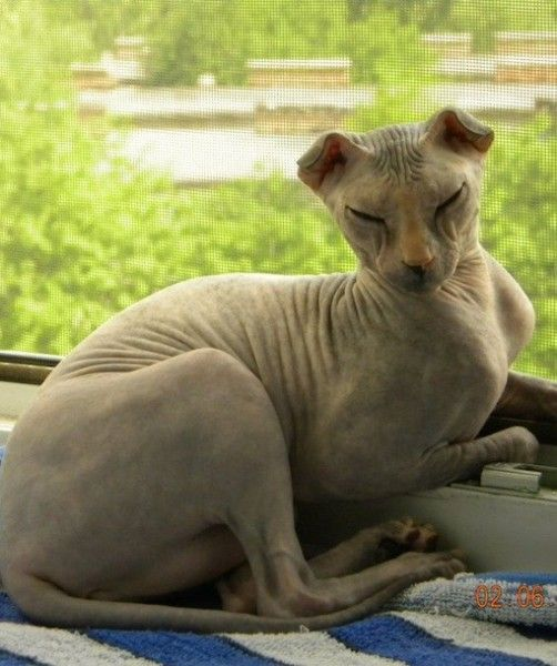 UKRAINIAN LEVKOY CATS 2 ( never thought I would see an ugly kitty but there it is! OMG!)