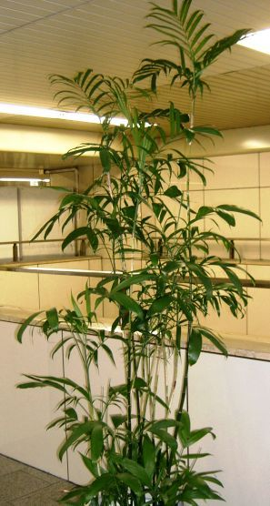 The bamboo palm is a very popular house plant.  These 3 different kinds are easy to grow indoors or in containers. See what they look like and how to grow.