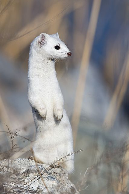 Ermine by m_Summers