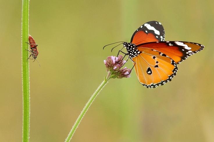 Danaus chrysippus / Kleine monarchvlinder / African Monarch