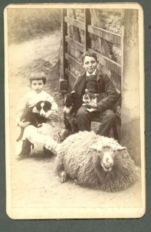 Vintage photo of sheep and Border collies